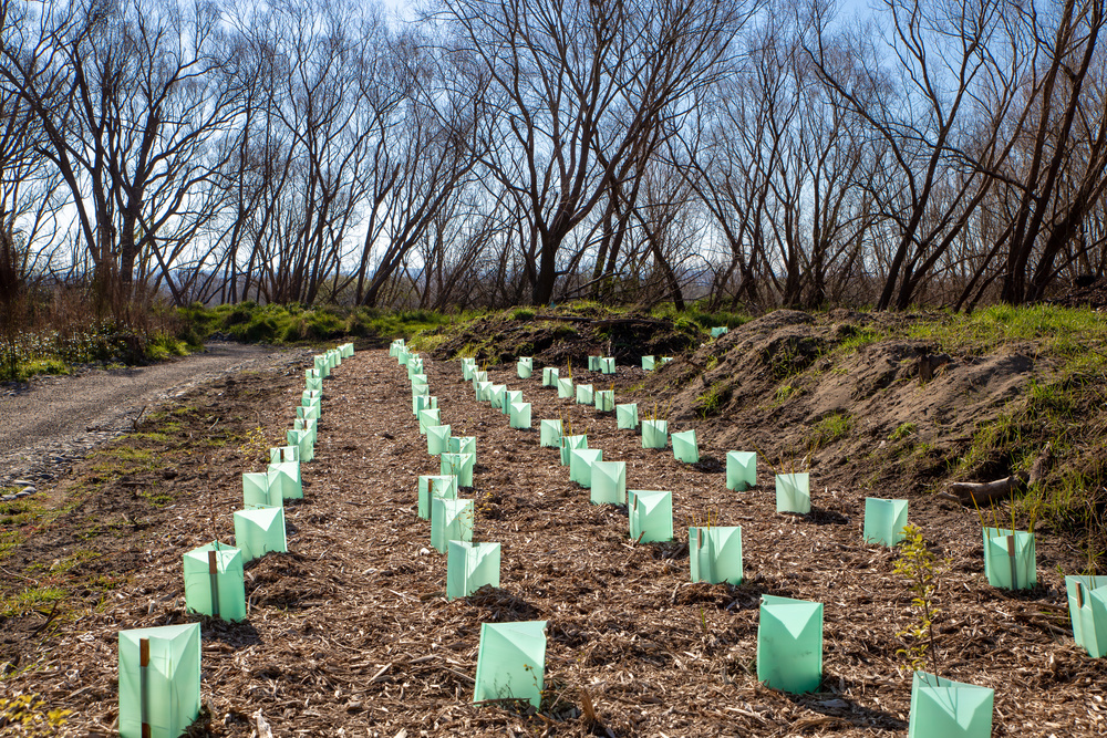Newly planted native trees are protected with tree guards along a cycle way in New Zealand